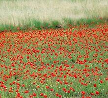 River of Poppies-Monterosi, Italy by Deborah Downes
