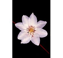White Clematis Flower on Black Photographic Print