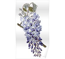 Flower - Wisteria Poster