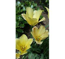 Yellow Blooms Photographic Print