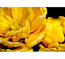 Yellow Pomponette Photographic Print