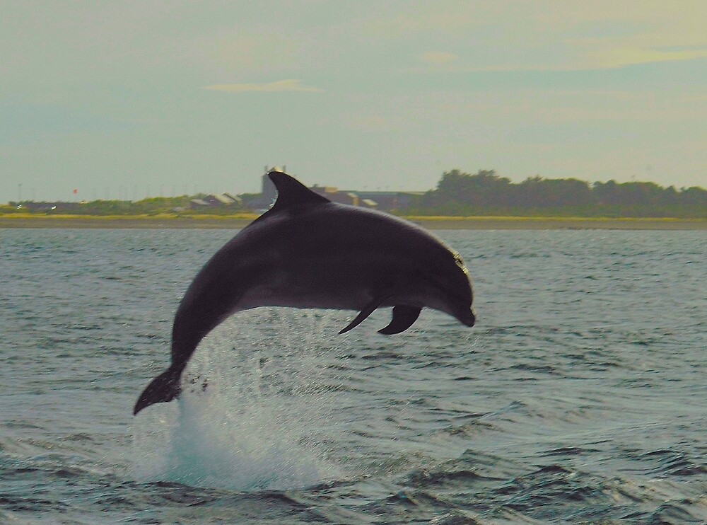 Dolphin from shore by Stephen Frost