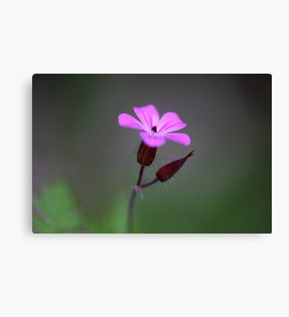 Flower of the Herb-Robert Canvas Print