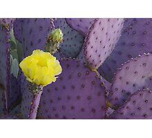 Purple Prickly Pear Photographic Print