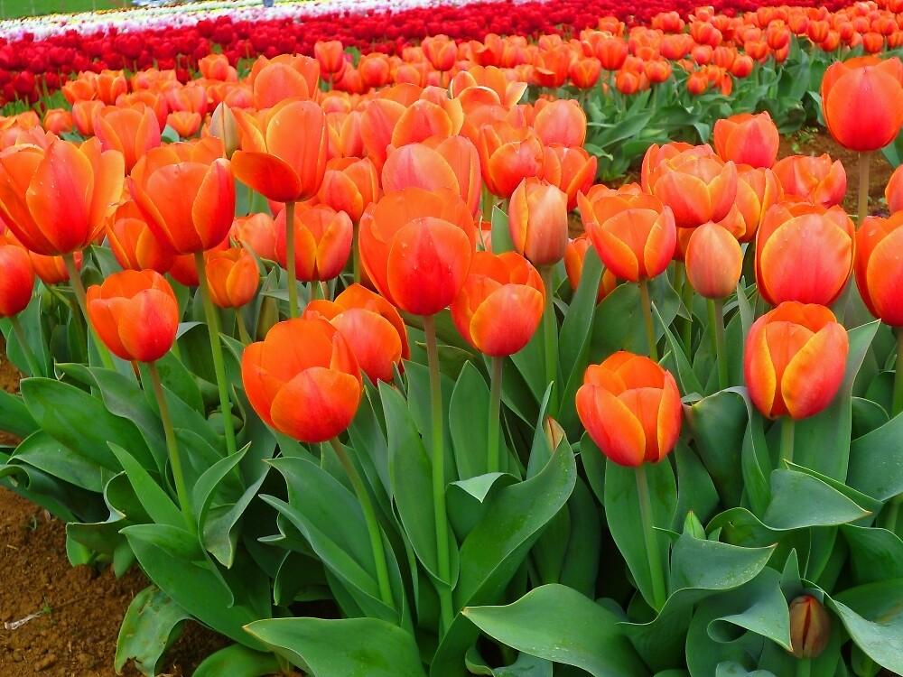 Orange Parade by TonyCrehan