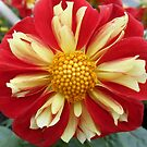 Star Sister Red and Yellow Dahlia by James Brotherton