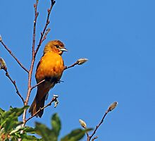 Female Baltimore Oriole by Debbie Oppermann