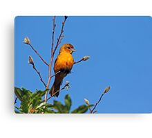 Female Baltimore Oriole Canvas Print