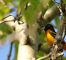 Male Baltimore Oriole  by Debbie Oppermann