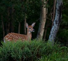 Fawn in forest by Jim Cumming
