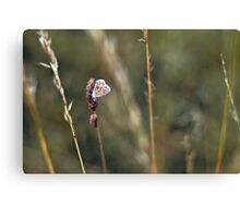 Brown Argus butterfly Canvas Print
