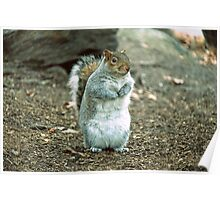 Central Park Squirrel  Poster