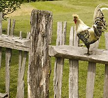 Rooster on a Fence by Kenneth Hoffman