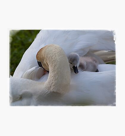 Swan and Cygnet, snuggle time Photographic Print
