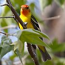 western tanager by Dennis Cheeseman