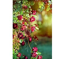 Roses in Springtime Cascade Photographic Print