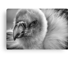Gryffon Vulture in black and white Canvas Print