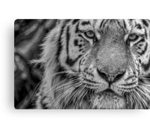 Amur Tiger (black & white version) Canvas Print
