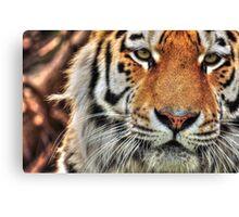 Amur Tiger (colour version) Canvas Print