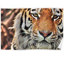 Amur Tiger (colour version) Poster