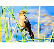 Boat Tailed Grackle Female Photographic Print