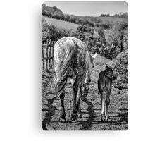 Horse and Foal in black and white Canvas Print