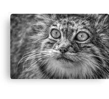 Pallas Cat (2) Canvas Print