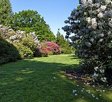 Rhododendron's at Heaven's Gate, Longleat, Wiltshire, UK. by Andrew Harker
