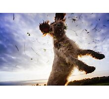 Brown Roan Italian Spinone Dog in Action Photographic Print