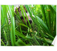 Hedge in Grass Poster