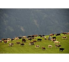 Cattle On Mountain Pasture Photographic Print