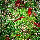 Redbird In a Florida Bottlebrush Tree by Noble Upchurch