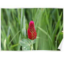 Flowers of the crimson clover, Trifolium incarnatum Poster