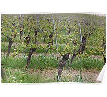 Grape vine in a vineyard Poster