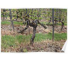 Grape vine in a vineyard in spring. Poster