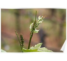 Fresh sprouts of grape vine Poster