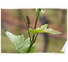 Fresh sprouts of grape vine in a vineyard in spring. Poster