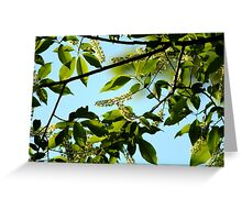 Chokecherry Tree Blossoms Greeting Card