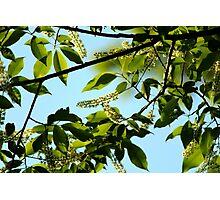 Chokecherry Tree Blossoms Photographic Print