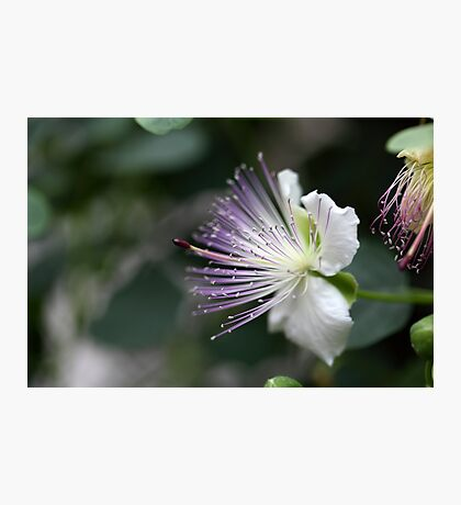 Flower of the caper bush, Capparis spinos. Photographic Print