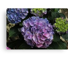 Shades of Pink and Purple Hydrangea  Canvas Print