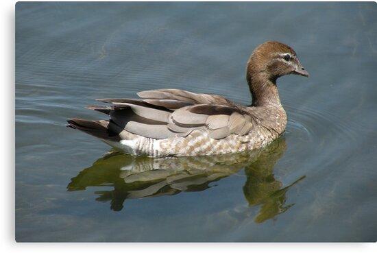 Australian Wood Duck by Trish Meyer