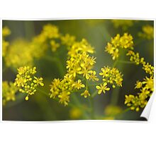 Flowers of woad or glastum Poster