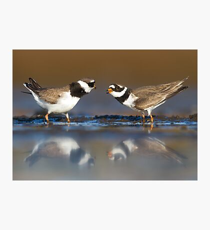 Mating plovers Photographic Print
