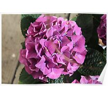 Hydrangea Blossoms In Violet Poster