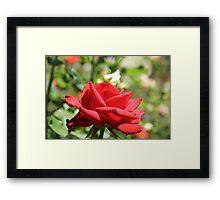 Red Rose at Queen Elizabeth Park, Print, framed print or canvas Framed Print