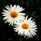 """""""Wild Daisys"""" by Lynn Bawden"""