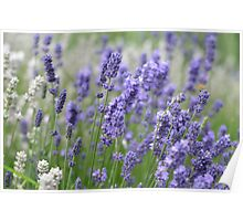 Blooming Lavender in Field Poster