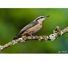 Red Breasted Nuthatch in a Tree Photographic Print