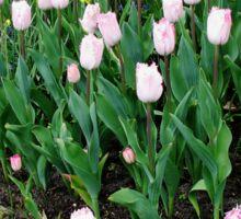 Tulips and Daffodils - Keukenhof Gardens Sticker
